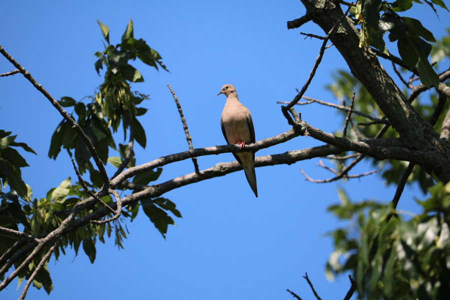 Mourning Dove Perched in Fishtown./Gianna Farrell