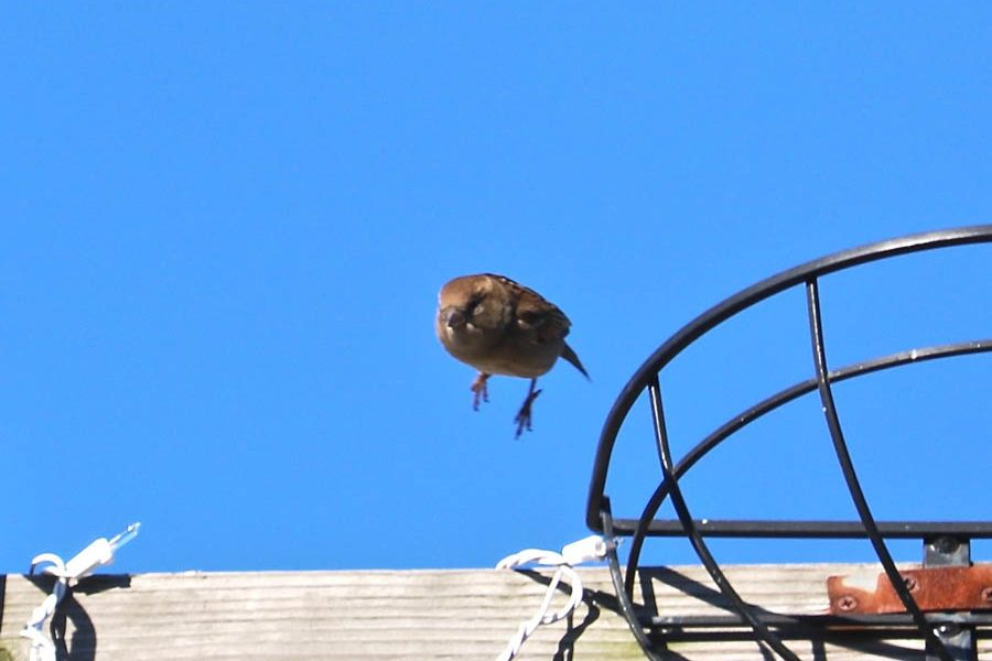 Female Sparrow in Flight (Northern Liberties)