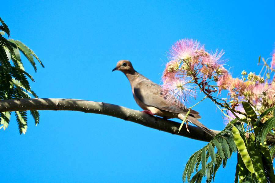 Mourning Dove in a Mimosa, Fishtown./Gianna Farrell