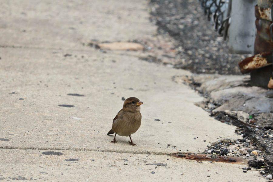 Adaire School Sparrow